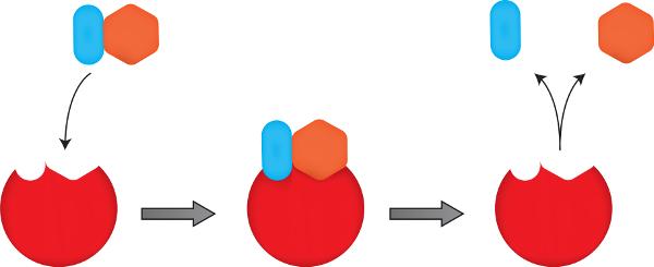 As enzimas atuam ligando-se a substratos específicos em locais específicos. Ao fim do processo, elas são liberadas para catalizarem novas reações.