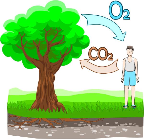 O ciclo do carbono envolve os processos de fotossíntese, na qual CO2 é assimilado e O2 é liberado, e a respiração, na qual CO2 é liberado e O2 é consumido
