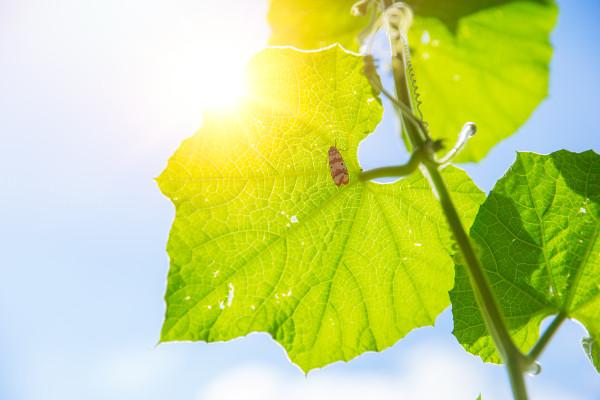 Na fotossíntese, a luz solar é convertida em energia química por organismos fotossintetizantes, como as plantas.