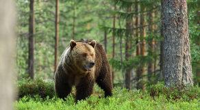 Urso pardo em floresta