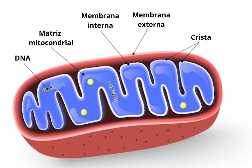 Dentre as características das mitocôndrias, podemos destacar sua membrana dupla e um DNA próprio.