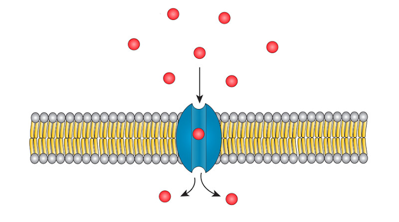 No transporte passivo, as substâncias atravessam a membrana de uma região onde estão mais concentradas para outra região onde estão menos concentradas.