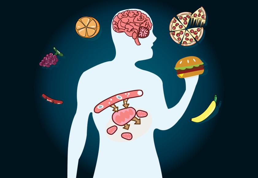 As moléculas provenientes do processo de digestão dos alimentos são encaminhadas para as células, onde são oxidadas, produzindo energia.