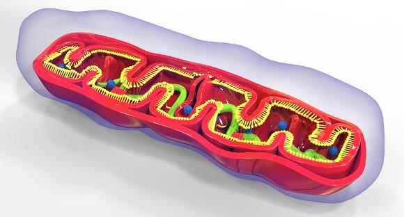 Em organismos eucariontes, a fosforilação oxidativa acontece na membrana interna das mitocôndrias.