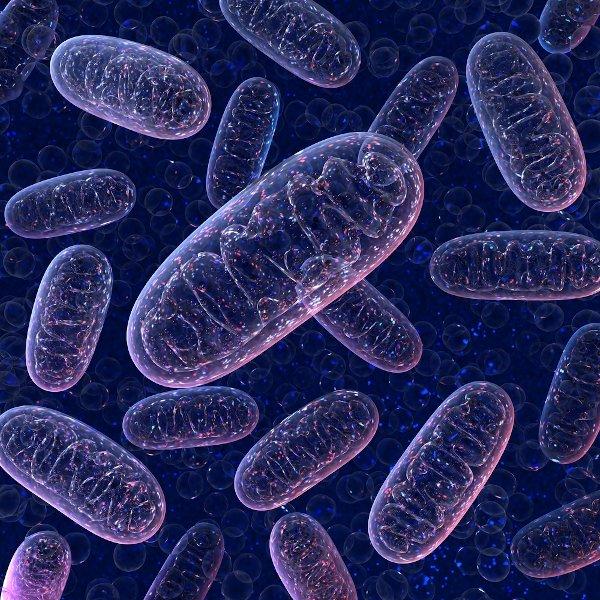As mitocôndrias são organelas celulares responsáveis pelo processo de respiração celular.