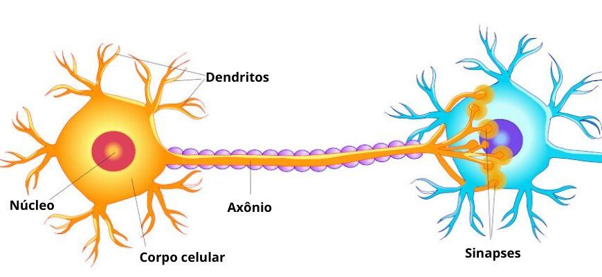 O neurônios são as células responsáveis pela transmissão dos impulsos nervosos.