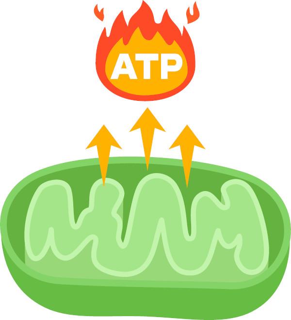 Na respiração celular, parte da energia obtida será armazenada nas moléculas de ATP.