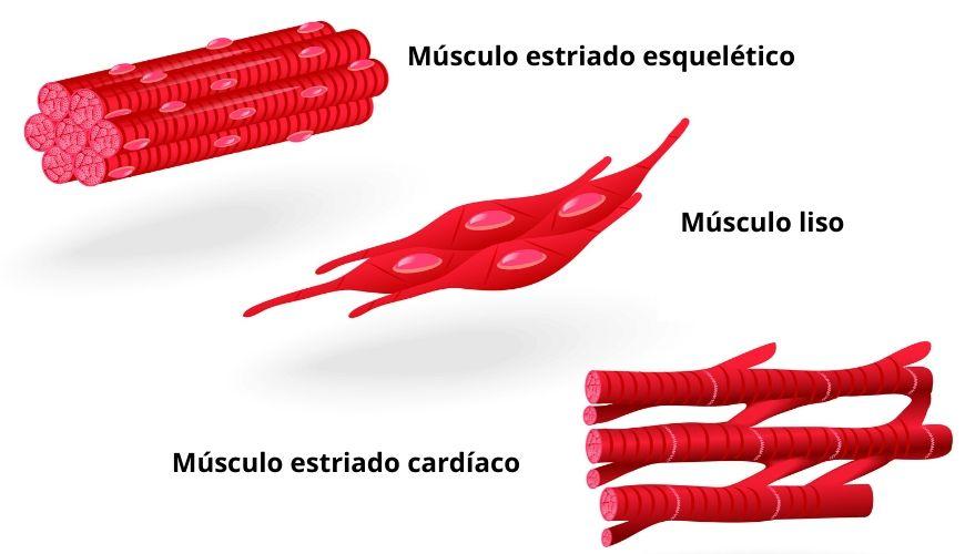O tecido muscular pode ser classificado em três tipos: muscular estriado esquelético, muscular liso e muscular estriado cardíaco.