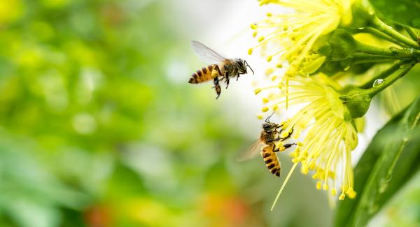 O processo de polinização realizado pelas abelhas é um exemplo de protocooperação.