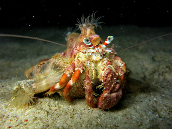 A relação entre o caranguejo-ermitão e a anêmona-do-mar é um exemplo clássico de protocooperação.