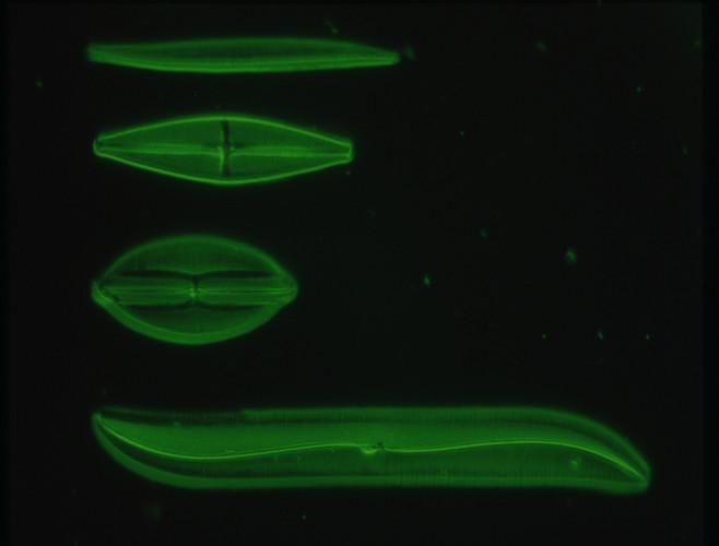 As algas do filo Bacillariophyta apresentam duas valvas que se encaixam chamadas de frústulas.