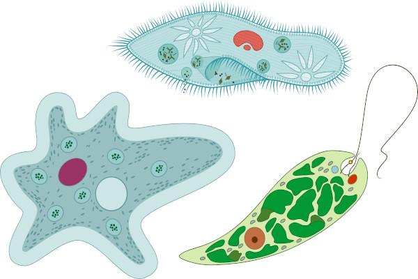 Amoeba, Paramecium e Euglena são exemplos de protozoários.