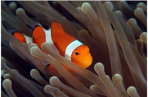 A anêmona fornece proteção ao peixe-palhaço e este atrai presas para as anêmonas.