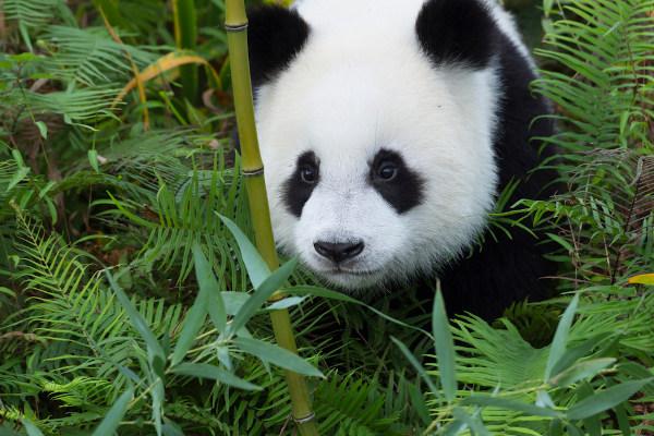 O urso panda habita regiões de florestas de bambu na China.