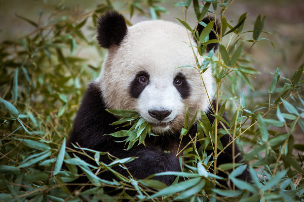 O urso panda pode chegar a comer 38 kg de bambu por dia.