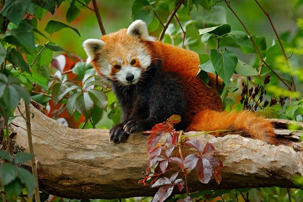 O panda-vermelho não é um urso e pertence à família Ailuridae.