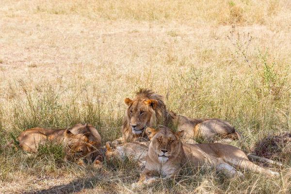 Os leões geralmente vivem em bandos constituídos principalmente por fêmeas.