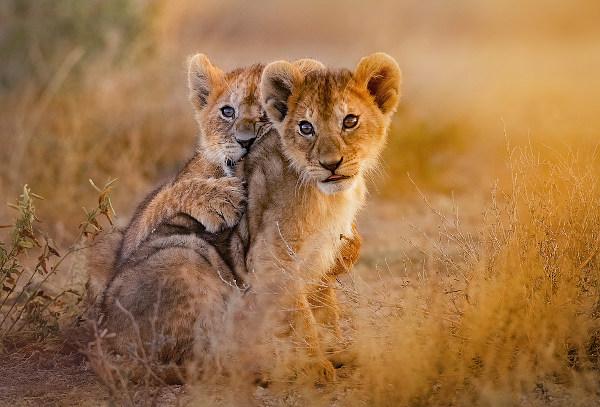 Em cada gestação, a fêmea pode gerar até três filhotes.