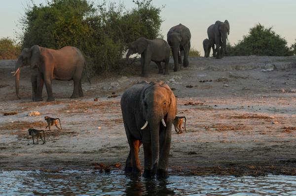 Os elefantes são mamíferos de grande porte, herbívoros, sendo geralmente encontrados vivendo em bandos.