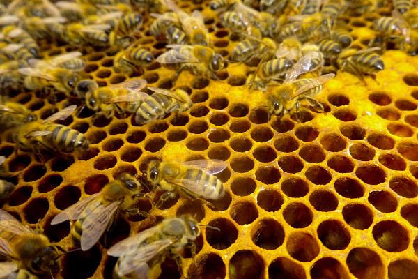 A sociedade das abelhas apresenta três castas: rainha, operárias e zangões.
