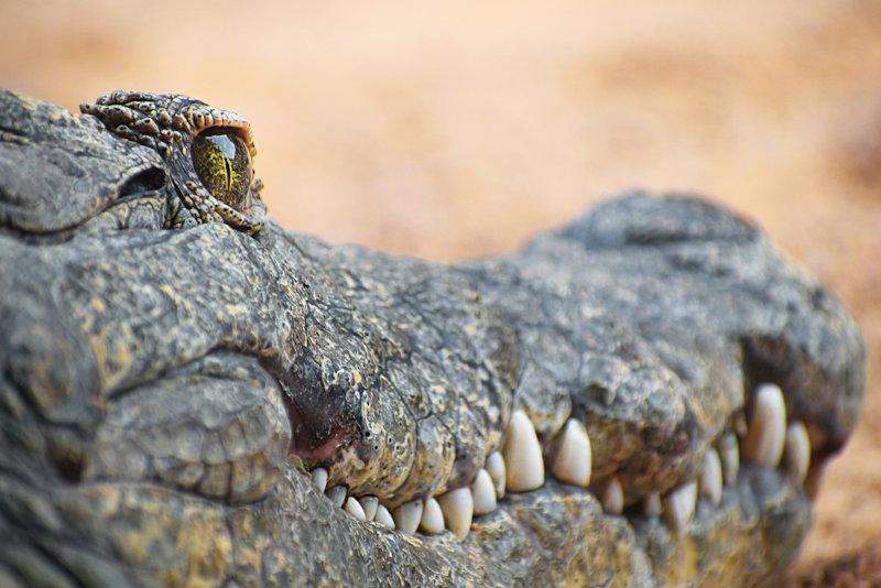 Uma diferença entre jacarés e crocodilos é que estes apresentam cabeça mais fina, o que deixa seus dentes inferiores visíveis.