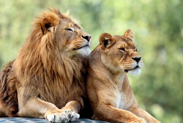 Os leões machos diferenciam-se das fêmeas por serem maiores e apresentarem juba.