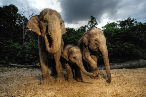A fêmea do elefante indiano não apresenta presas.