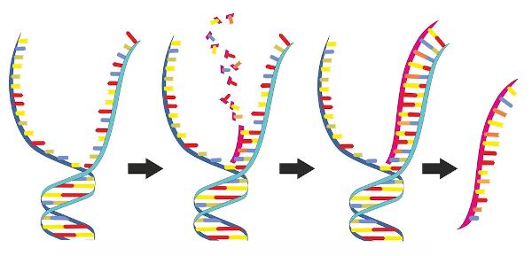 A transcrição é um processo que pode ser dividido, didaticamente, em três fases: início, elongação e término.