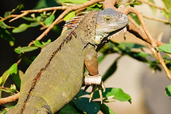 As iguanas necessitam do Sol para a termorregulação e o metabolismo de cálcio e da vitamina D.