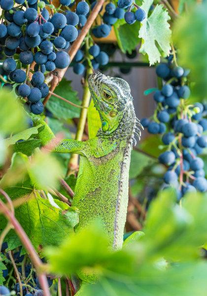 As iguanas são animais herbívoros, podendo alimentar-se de diversas partes das plantas, como folhas e frutos.