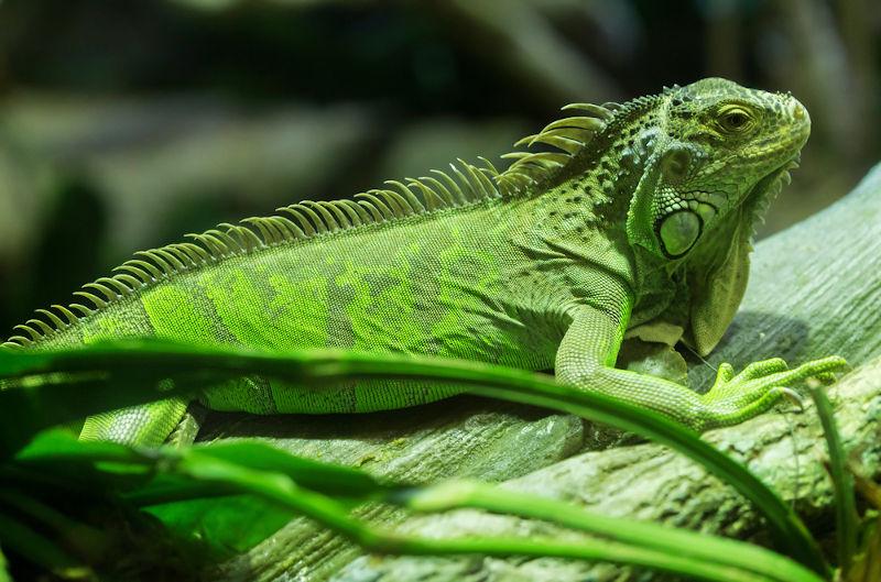 As iguanas apresentam, entre suas características, uma crista, semelhante a espinhos, que segue do dorso à cauda e uma prega de pele na região gular.