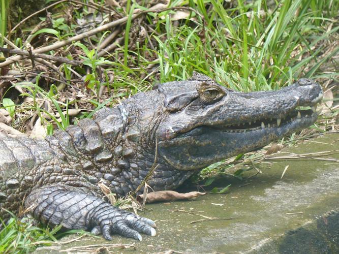 O jacaré-açu é considerado o maior dos jacarés, sendo que o macho pode atingir cerca de seis metros de comprimento.