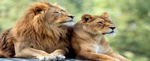 Leão ao lado da leoa