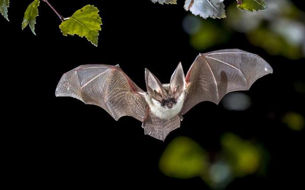 Os morcegos são os únicos mamíferos com capacidade de voo verdadeiro