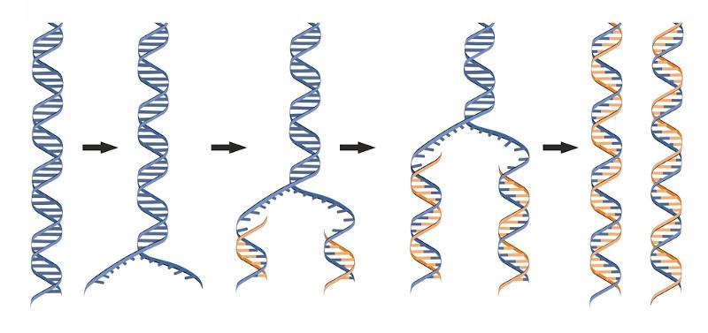 Na replicação, uma cadeia de DNA separa-se, nucleotídeos livres ligam-se nas fitas simples e, assim, duas novas moléculas surgem.