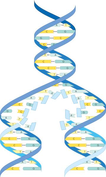 A replicação originará duas moléculas de DNA constituídas por uma fita que pertencia à molécula original e uma fita recentemente sintetizada.