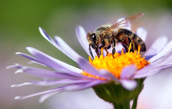 Alguns artrópodes, como as abelhas, atuam na polinização de diversas espécies.