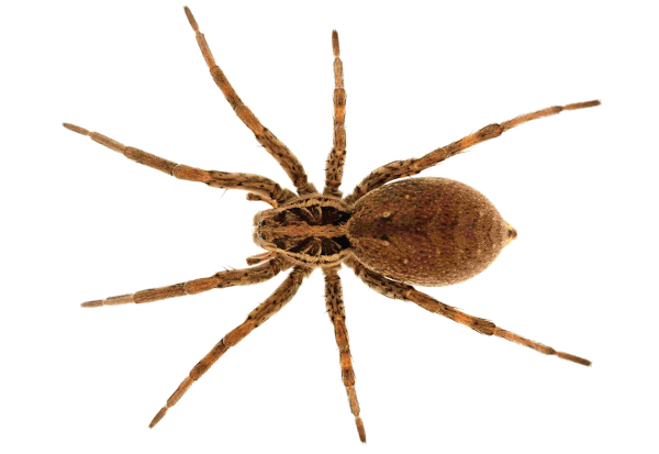 As aranhas apresentam quatro pares de patas por segmento, sendo classificadas como aracnídeos.