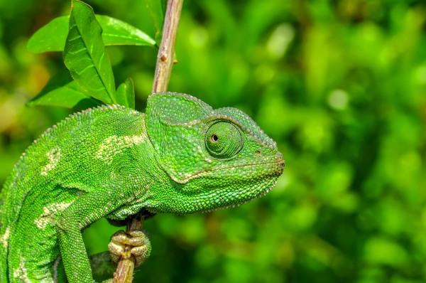 O camaleão é um animal que habita o topo das árvores, passando a maior parte do tempo nesses locais.