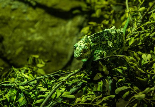 Uma das funções da mudança de cor nos camaleões é a camuflagem.
