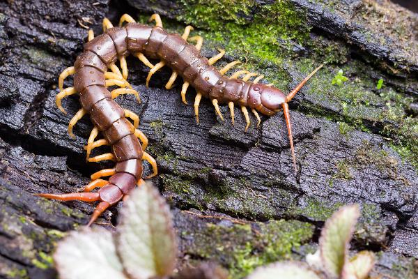 A centopeia é uma representante dos quilópodes, grupo que apresenta um par de patas por segmento.