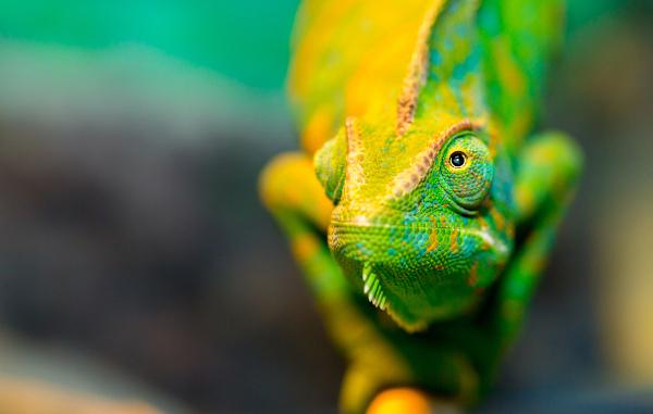 As pálpebras do camaleão encontram-se fundidas sobre o globo ocular, apresentando uma pequena abertura central.