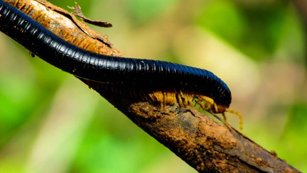 O piolho-de-cobra é um representante dos diplópodes, grupo que apresenta dois pares de patas por segmento.