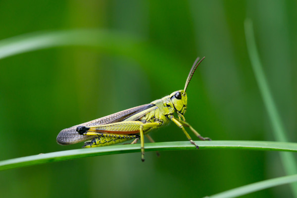 O gafanhoto é um inseto herbívoro conhecido pelo fato de algumas de suas espécies serem pragas de plantações.