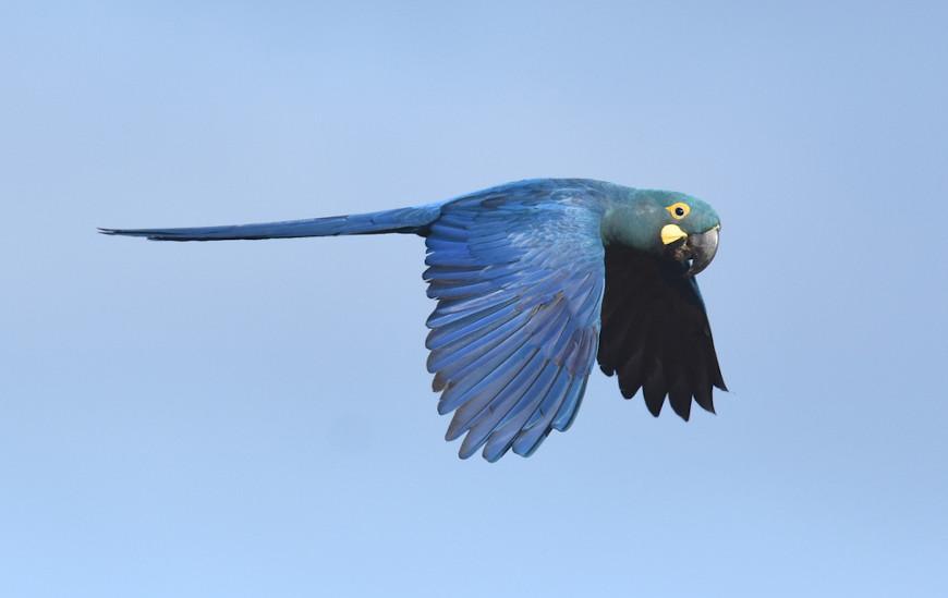 A arara-azul-de-lear é uma ave da Caatinga que se encontra em risco de extinção.