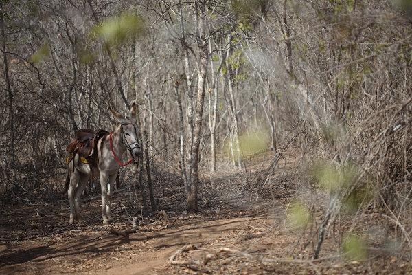 Na seca, a vegetação da Caatinga perde suas folhas, apresentando apenas os troncos brancos.