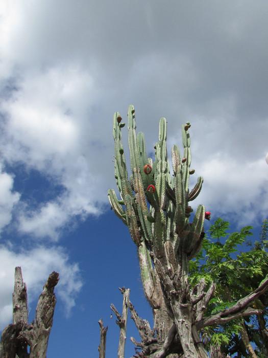 As cactáceas são plantas típicas desse bioma e apresentam a capacidade de armazenar água em seus tecidos.