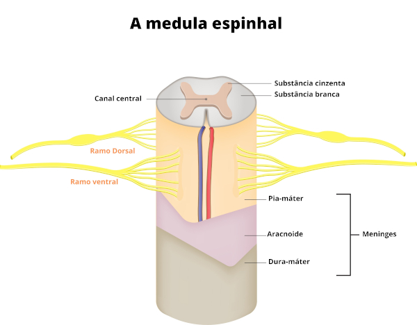 A medula espinhal apresenta substância branca, substância cinza, canal central e é revestida por meninges.