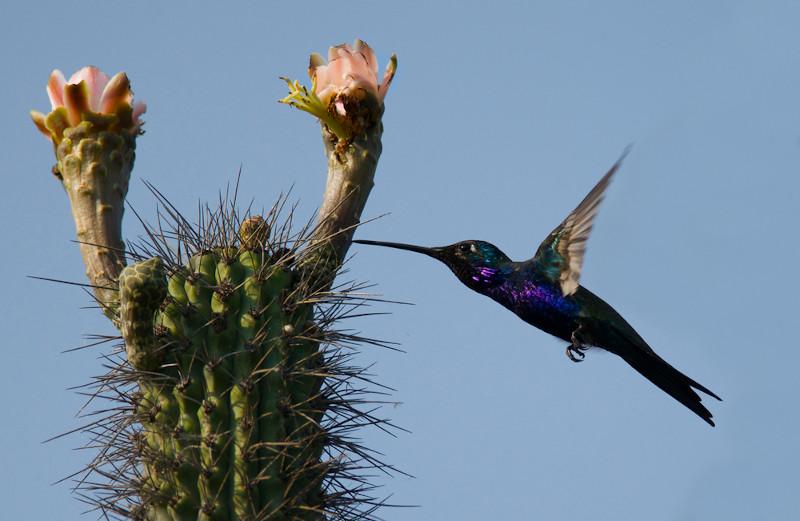 O beija-flor-de-barba-azul é uma espécie endêmica do Pampa.