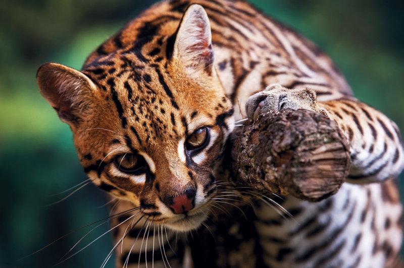 A jaguatirica é um dos animais mamíferos encontrados na Mata Atlântica.
